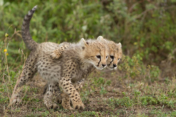 cheetah (acinonyx jubatus) cubs playing - jachtluipaardwelp stockfoto's en -beelden