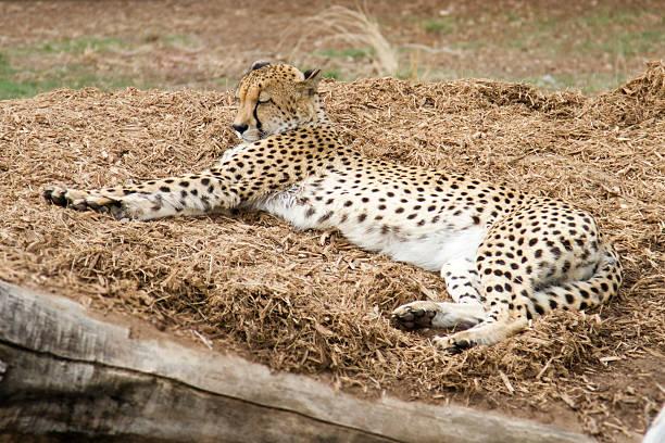 gepard nap - geparden bettwäsche stock-fotos und bilder