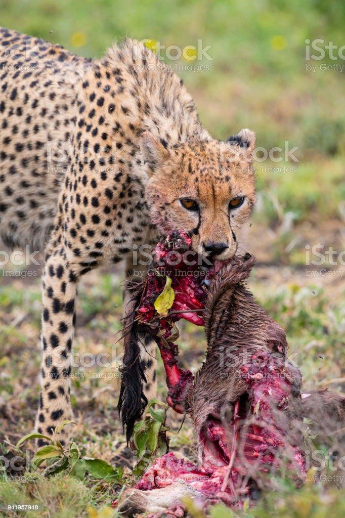 Gepard Essen Ein Baby Gnus In Afrika Stock-Fotografie und mehr ...