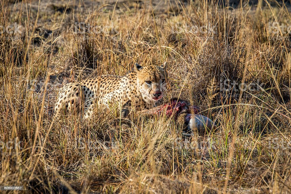Cheetah eating from a Reedbuck carcass in the grass. stock photo