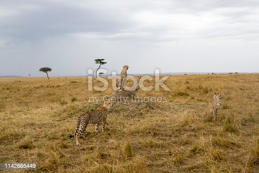 A Cheetah family. Taken in Masai Mara, Kenya
