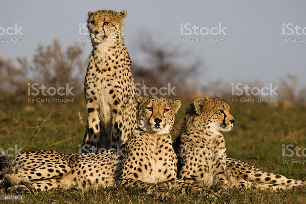 Cheetah family stock photo