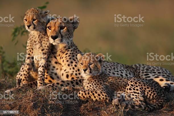 Cheetah family picture id167768212?b=1&k=6&m=167768212&s=612x612&h=nnepfkfmznmn5zs2zpegc5pt f7rtxfqhonrekusmle=