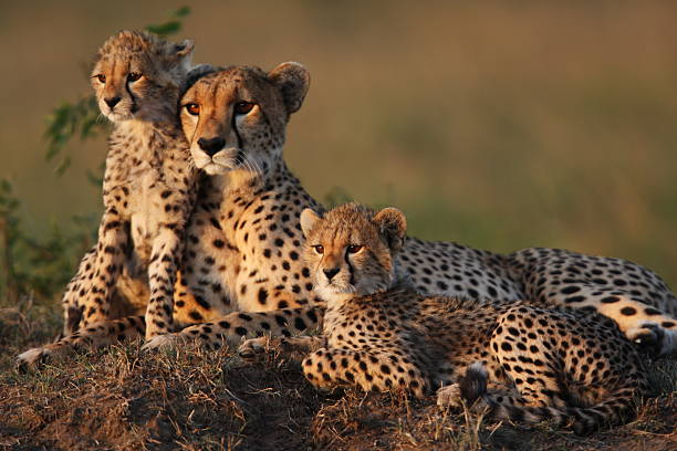 Cheetah Family Mother cheetah with two 2 month old cubs on a termite mound in the Masai Mara animal family stock pictures, royalty-free photos & images