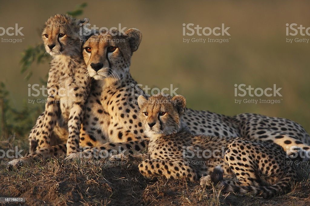 Cheetah Family stock photo