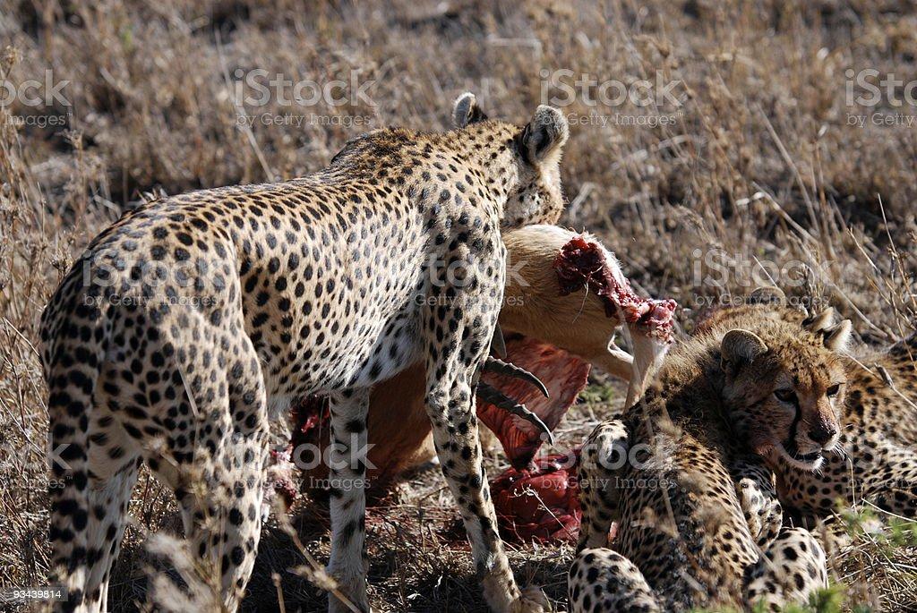 Gepard Familie mit Töten Lizenzfreies stock-foto