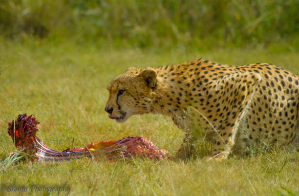 a cheetah feeding - carnivora stock photos and pictures