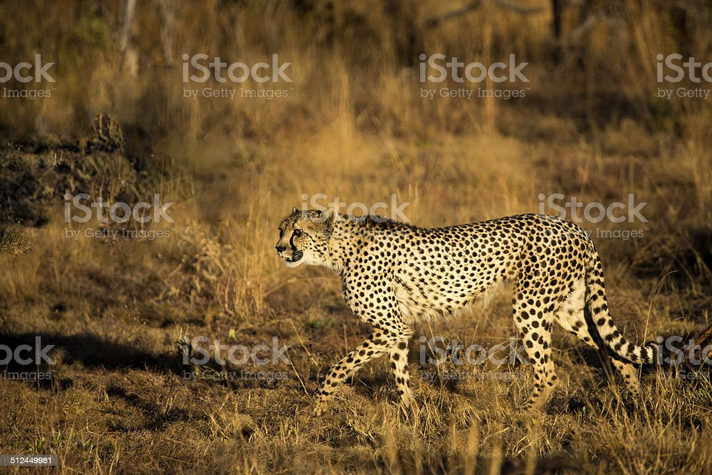 Cheetah Female in Welgevonden Game Reserve, Limpopo, South Africa stock photo
