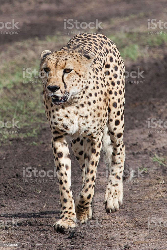 Cheetah Front View Tanzania Africa Stock Photo & More Pictures of ...