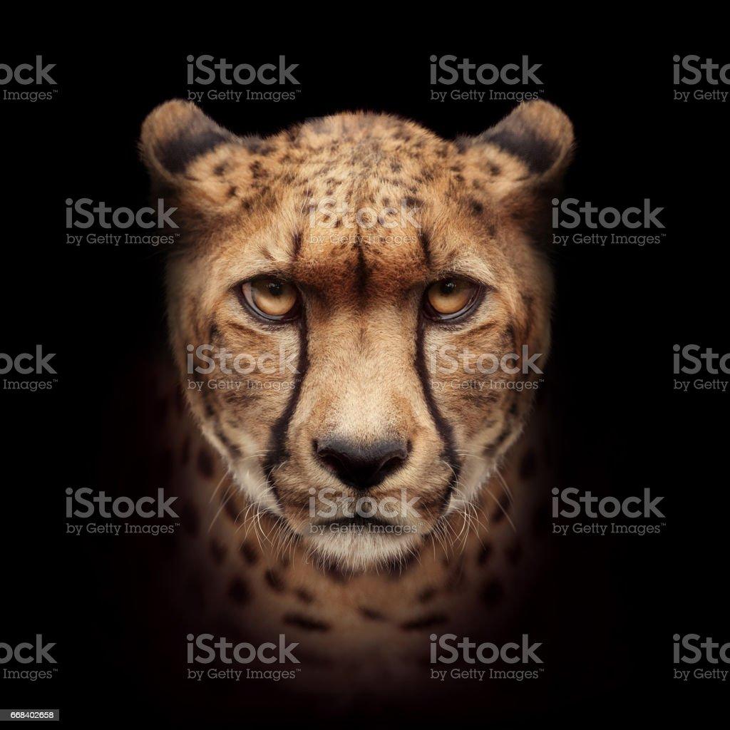Cabeza de guepardo en primer plano de la cámara - foto de stock