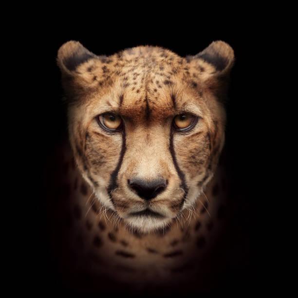 cheetah hoofd camera close-up kijken - jachtluipaard stockfoto's en -beelden