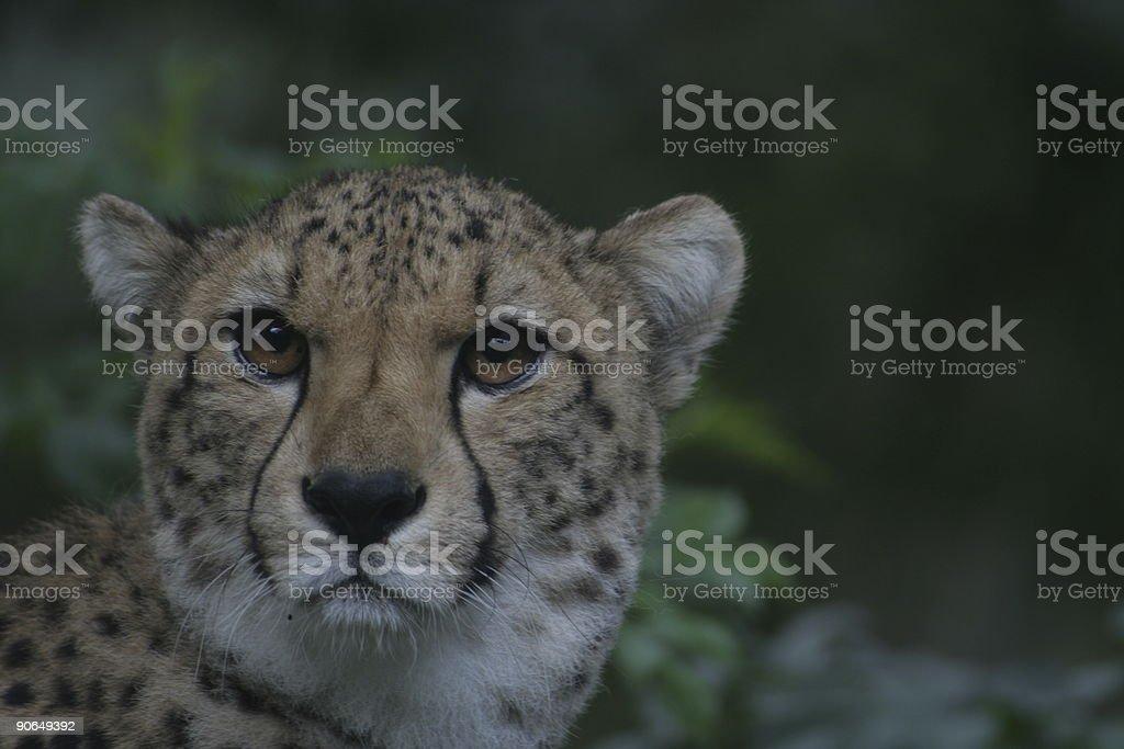 cheetah head royalty-free stock photo