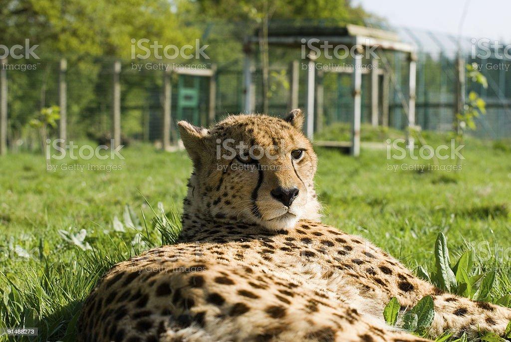 Cheetah - Hello kind sir! stock photo