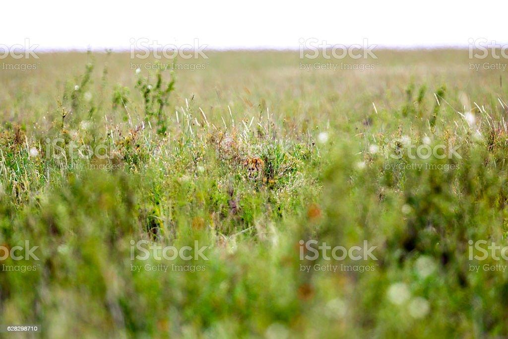 Cheetah hiding / Real Camouflage - Sleeping stock photo