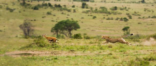 cheetah jacht en jagen een gazelle - jachtluipaard stockfoto's en -beelden