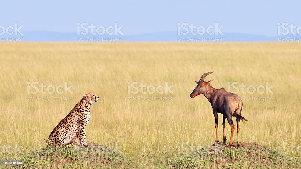 Cheetah Hunting Antelope in Africa Safari Landscape stock photo