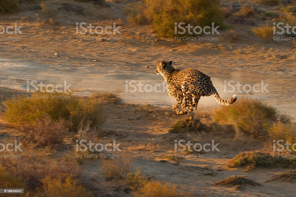 Cheetah hunting at sunset in African savannah in Karoo area stock photo
