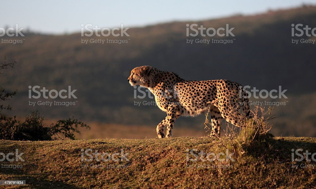 Cheetah hunting in South Africa stock photo