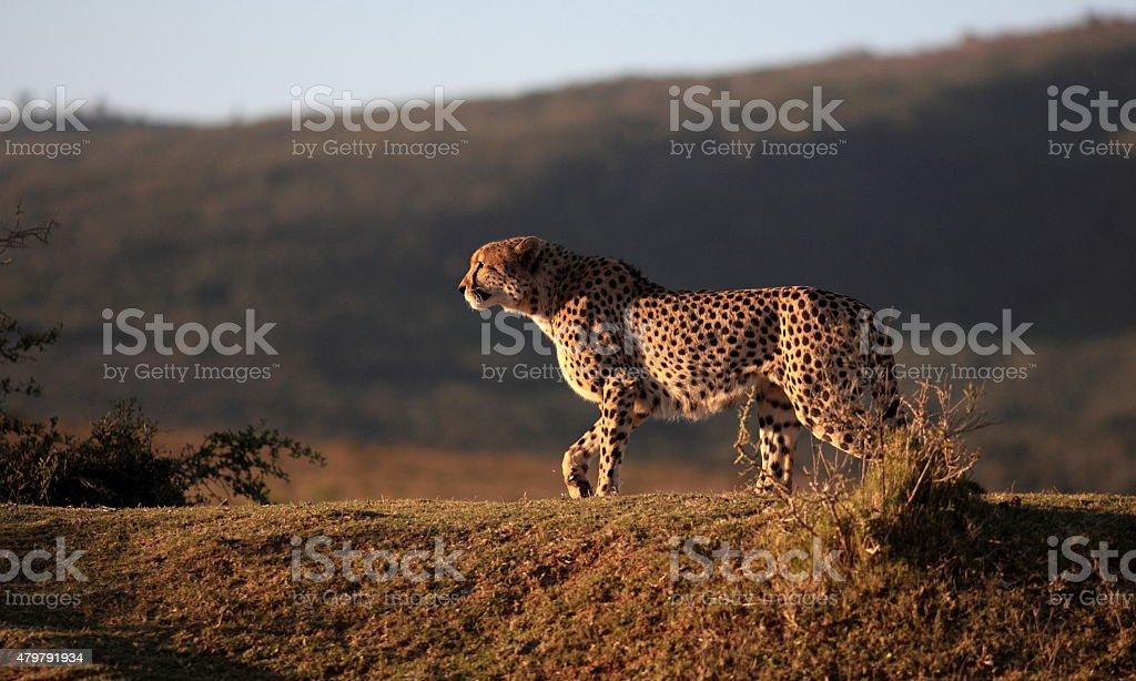 Cheetah caza en el sur de África - foto de stock