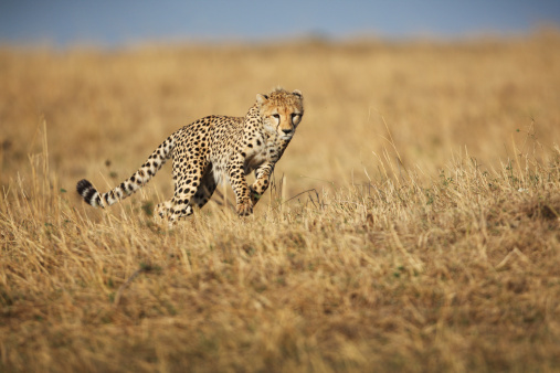 istock Cheetah hunting 157616694