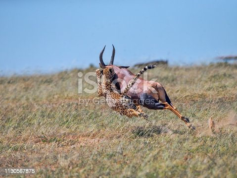 A male Cheetah attempts to bring down a Topi antelope. Taken in Maasai Mara, February 13, 2019