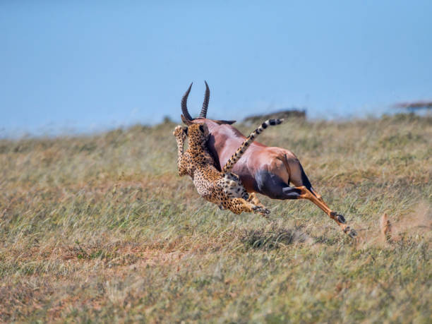 Cheetah Hunts Topi stock photo