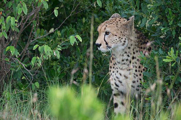 Cheetah in Bushes stock photo