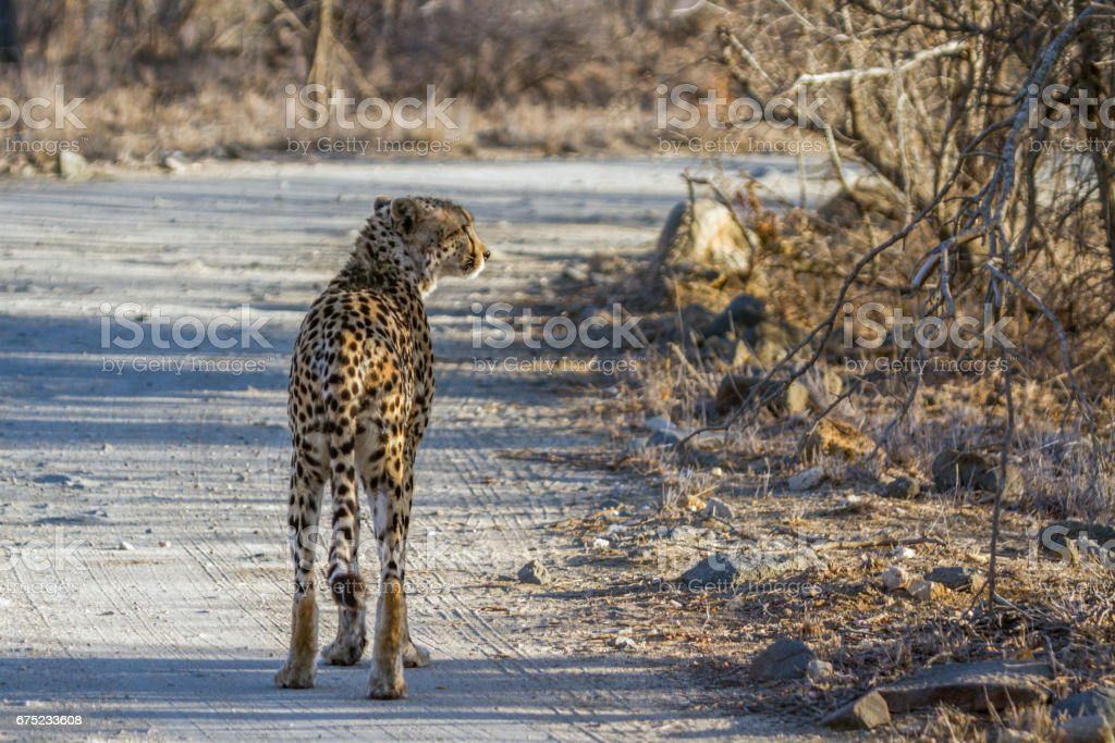 Cheetah in Kruger National park, South Africa royalty-free stock photo