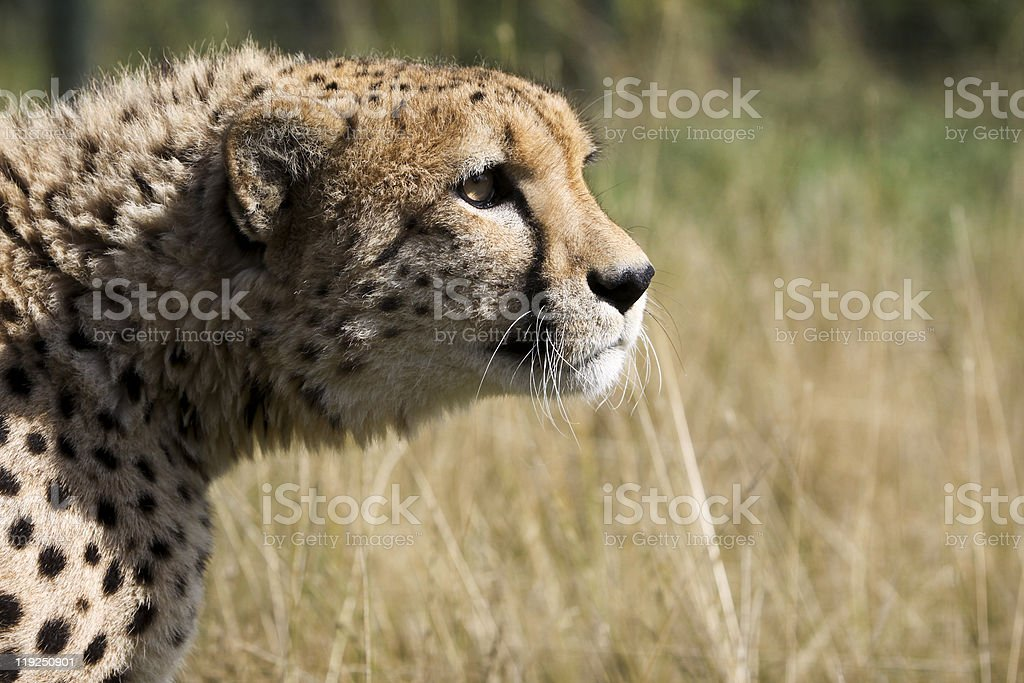 Cheetah in Kruger Park, South Africa royalty-free stock photo