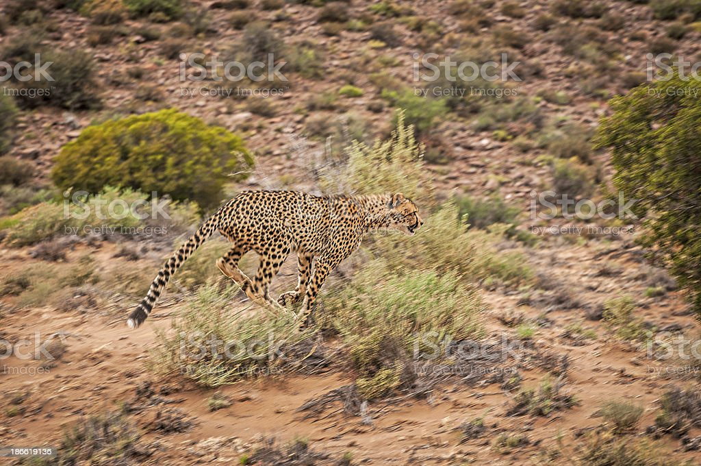 Cheetah in Mid Stride royalty-free stock photo