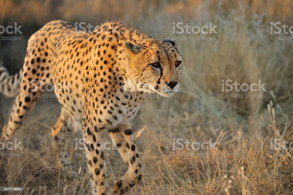 cheetah in namibia stock photo
