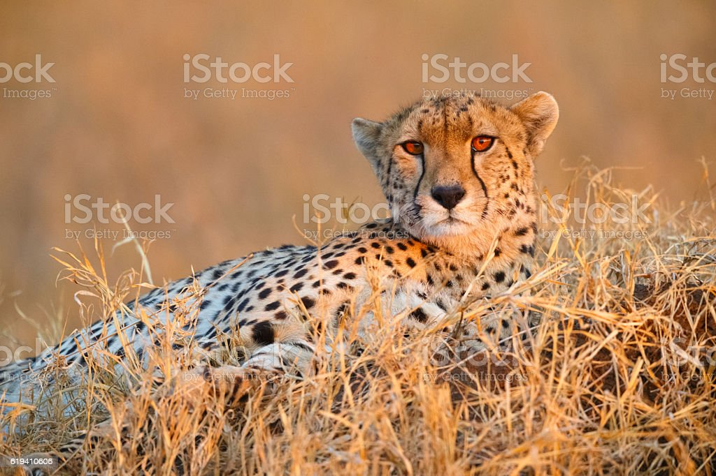 Cheetah in Serengeti National Park, Tanzania Africa stock photo