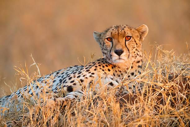cheetah in serengeti national park, tanzania africa - single pampas grass bildbanksfoton och bilder