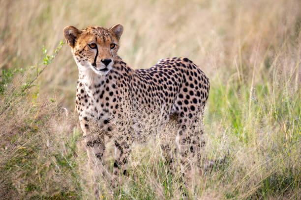 cheetah in het gras is kijken voor somethings - jachtluipaard stockfoto's en -beelden