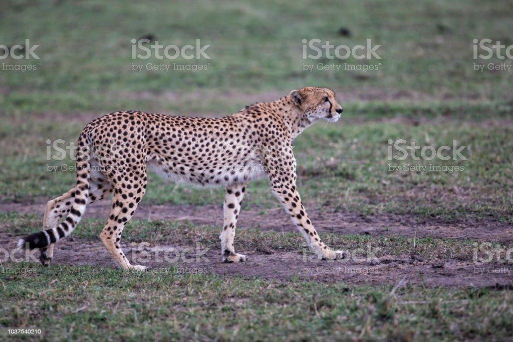 Cheetah in the Masai Mara National Park in Kenya stock photo