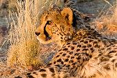 Cheetah (Acinonyx jubatus) in the private reserve Okonjima in Namibia.