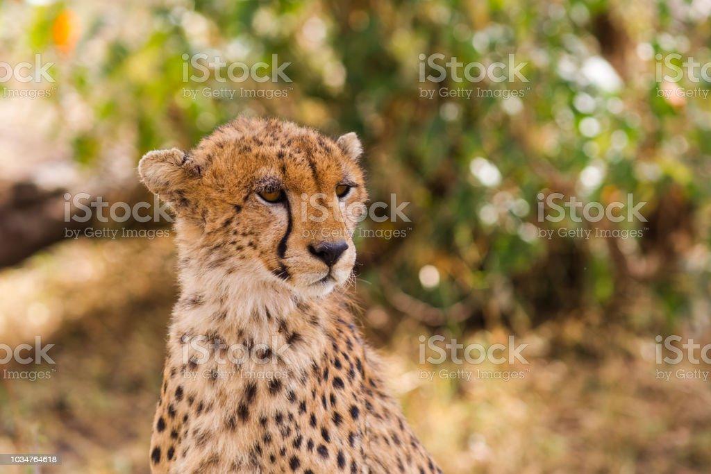 Cheetah in the savannah. Masai Mara, Kenya stock photo