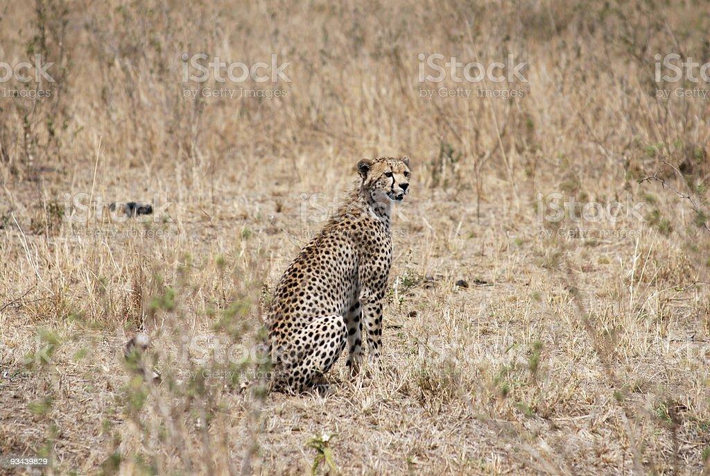 Gepard in savannah Lizenzfreies stock-foto
