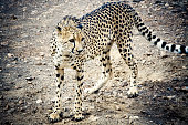 Cheetah sneaking through the wilderness. Etosha pan, Namibia, South West Africa. Edited Colors, Intended Vignetting. Wildlife Series.