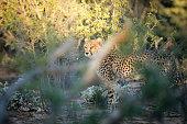 A Cheetah in thick grass