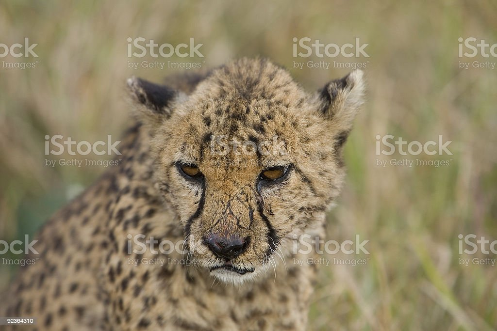 Cheetah in thought royalty-free stock photo