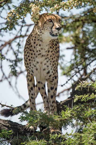 Cheetah in Tree stock photo