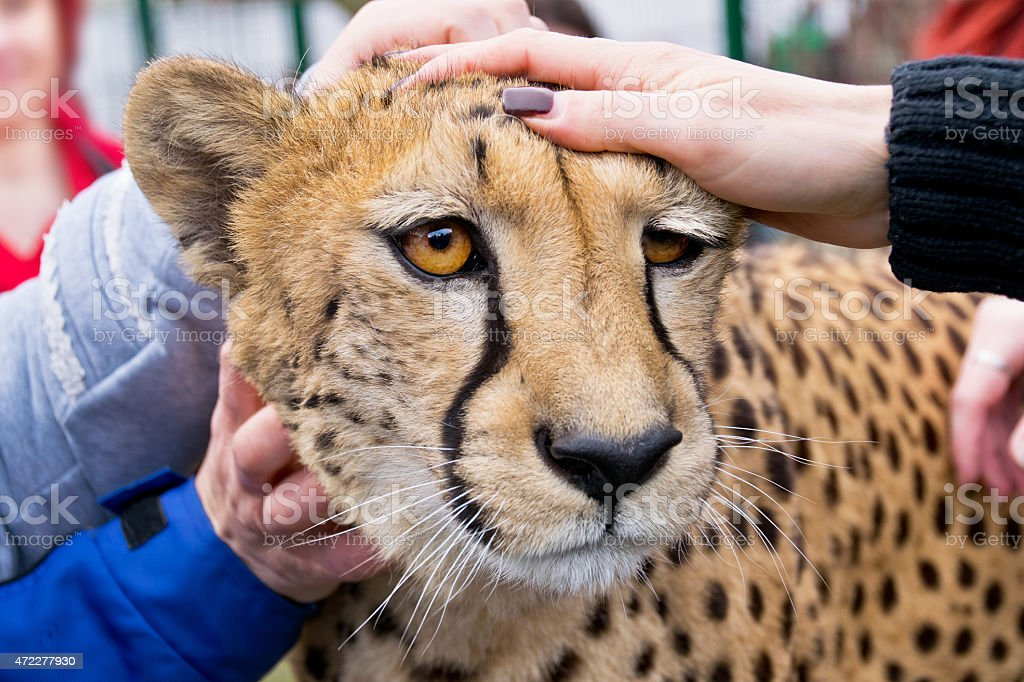 cheetah in zoo stock photo