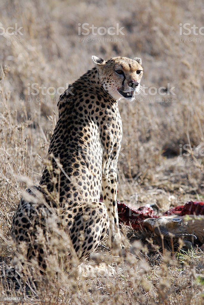 Gepard ist sich über seine Gefährlichkeit Lizenzfreies stock-foto