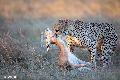 A young male cheetah kills a Gazelle. Taken in Maasai Mara National Reserve, Kenya