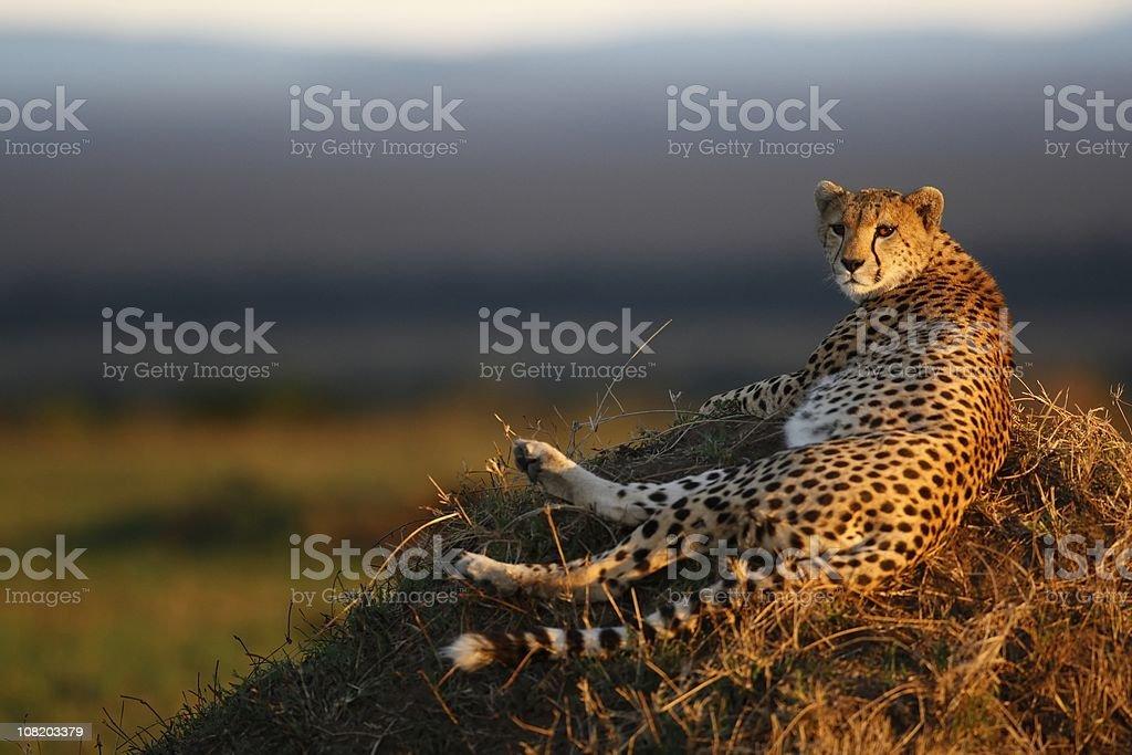Cheetah Laying on Termite Mound stock photo