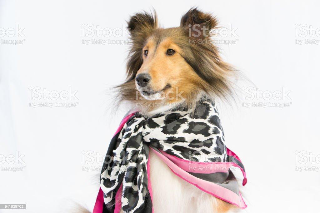 Popular Icelandic Sheepdog Canine Adorable Dog - cheetah-leopard-printt-scarf-dog-fashion-sheltie-shetland-sheepdog-picture-id941939702  You Should Have_188284  .com/photos/cheetah-leopard-printt-scarf-dog-fashion-sheltie-shetland-sheepdog-picture-id941939702