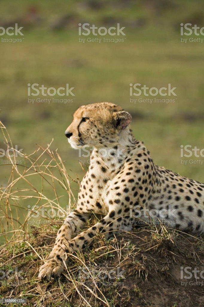 Cheetah looking around in the Masai Mara stock photo