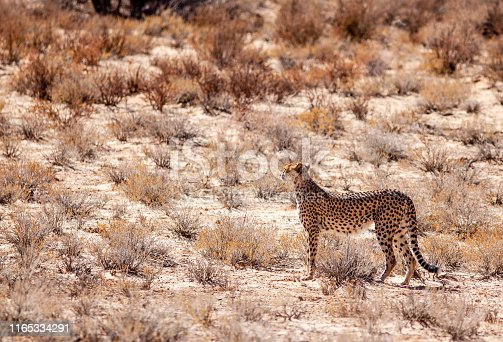 A wild cheetah looks for prey in the Kgalagadi Transfrontier Park in the Kalahari region of South Africa.