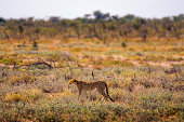 Two Cheetah in last light of day